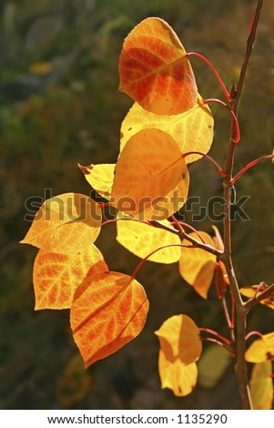 Brilliant autumn aspen leaves in the Sandia mountains of central New Mexico.