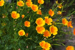 Brilliant buttercup yellow flowers of Eschscholzia californica (Californian poppy,golden poppy, California sunlight, cup of gold) a species of flowering plant in  family Papaveraceae are cheerful.