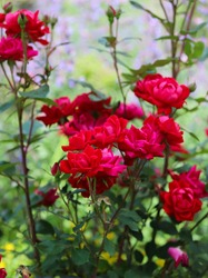 Brilliant crimson red knockout roses in a small garden