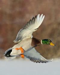 Brilliant Drake Mallard Duck