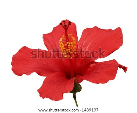 Brilliant or San Diego Red, a type of Tropical Hibiscus, in a sunny spot