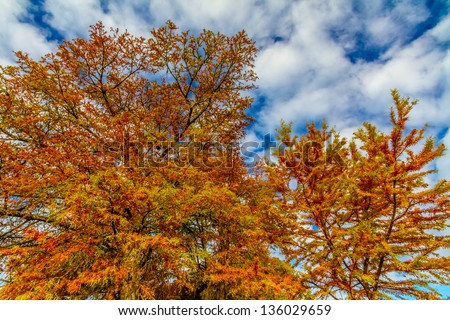 Brilliant Orange Fall Foliage on a Bald Cypress Tree in Texas.  Fall or Autumn Background.