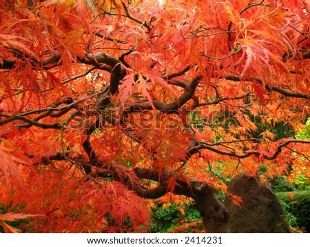 japanese maple leaves. red japanese maple leaves.