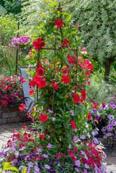 Brilliant red  mandevilla climbing up an obelisk surrounded By lavender and red petunias