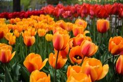 Brilliant tulip flowers with rich orange-red petals