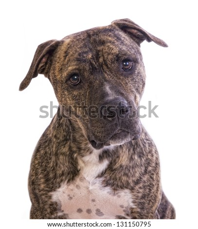 Brindle American Staffordshire Terrier head shot isolated on white background