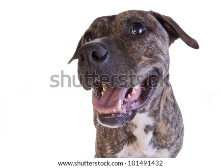 Brindle American Staffordshire Terrier head shot side view isolated on white background