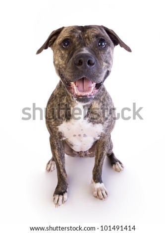Brindle American Staffordshire Terrier sitting isolated on white background