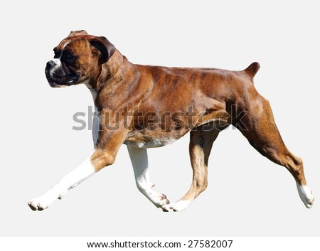 Brindle Boxer isolated with clipping path