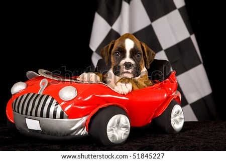 Brindle Boxer puppy in red toy car on black background