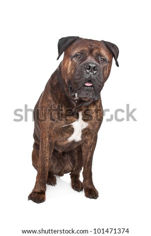 brindle Bullmastiff in front of a white background - stock photo