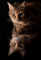 Brindle cat portrait reflected in a black background