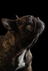 Brindle French bulldog on blackbackground