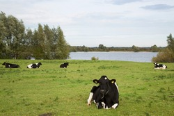 brindle or black-and-white cow resting and ruminating on a floodplain pasture along the river