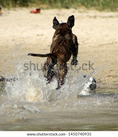 brindle rhodesian ridgeback jumps out of the water. wet dog is jumping. jumping dog on the beach with a ball