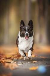Brindle welsh corgi cardigan running among fallen leaves for a blue ball against the backdrop of a bright autumn landscape