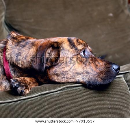 Brindled Plott hound at home