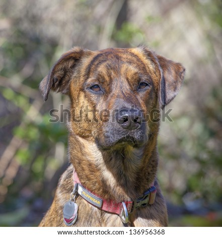 Brindled Plott hound portraits