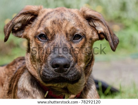 Brindled Plott hound sitting in the sun
