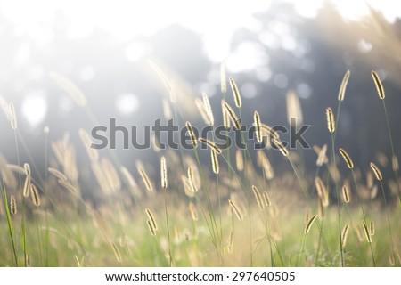 bristle grass under sunshine foxtail sunshine