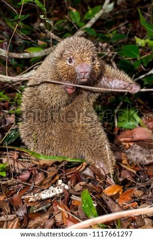 Bristle-spined rat photographed in Guarapari, Espírito Santo - Southeast of Brazil. Atlantic Forest Biome. Picture made in 2007.