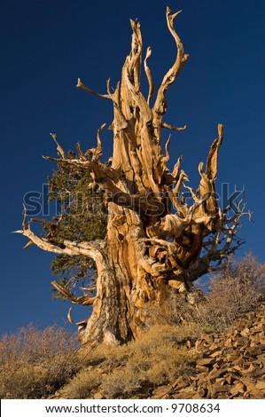 Bristlecone Pine (Pinus longaeva), our planet's oldest living organism, White Mountains, California, USA