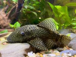 Bristlenose Plecos, freshwater algae eater fish.