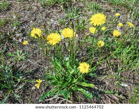 Bristly or rough hawkbit, Leontodon hispidus, growing in Galicia, Spain