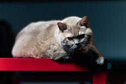 Brit Cat Posing on a Table, Close Up