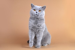 British blue adult male cat with bright orange eyes with thick plush fur on a beige background