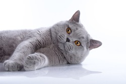 British blue adult male cat with bright orange eyes with thick plush fur on a white background