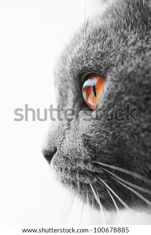 British blue cat detail