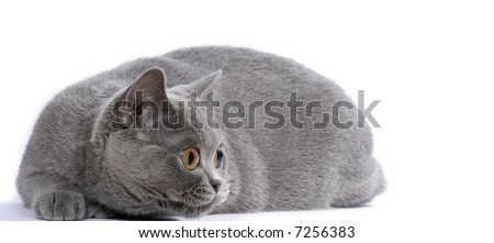British blue cat stakes out bird