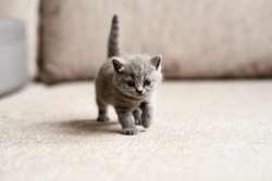 British blue kitten is very beautiful. The British kitten looks straight. The British kitten looks very closely.
