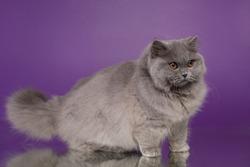 British blue longhair cat female on a purple background