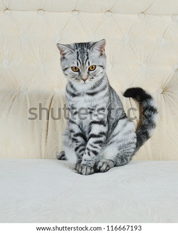 British breed gray cat sitting on the couch at home
