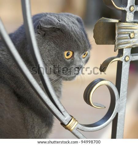 British cat - stock photo