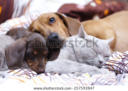 British cat  and dog dachshund