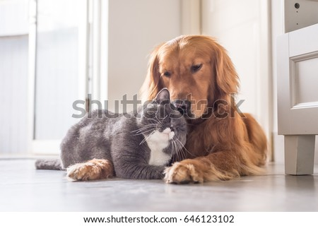 British cat and Golden Retriever - Shutterstock ID 646123102