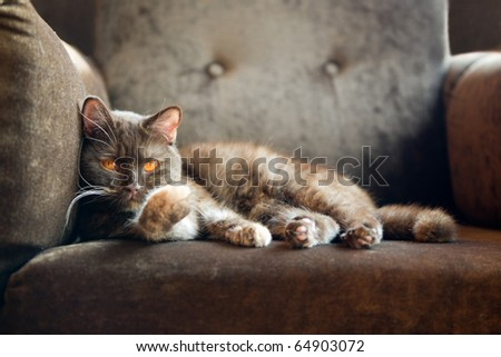 british cat at home