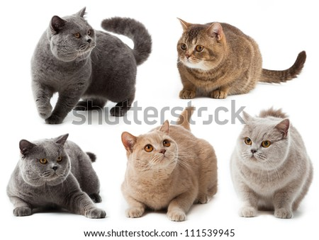 British cat collection.  British shorthair cat on a white background. british cat isolated