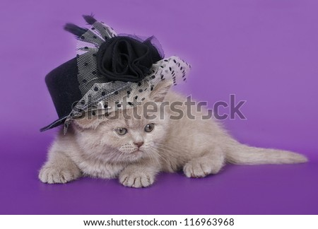 British cat in a hat.
