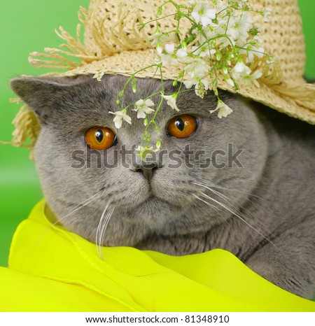 British cat in a straw hat with flowers