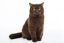 British cat isolated brown