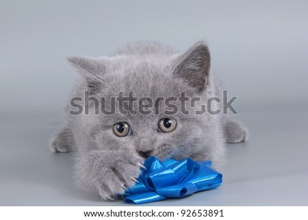 British  cat, kitten blue