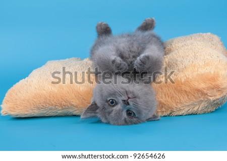 British  cat, kitten blue - stock photo