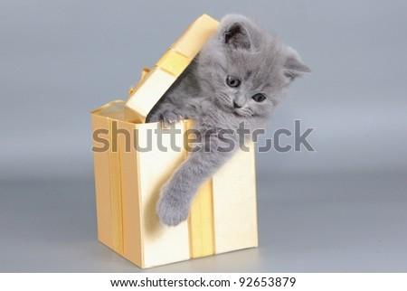 British  cat, kitten blue  in gift box
