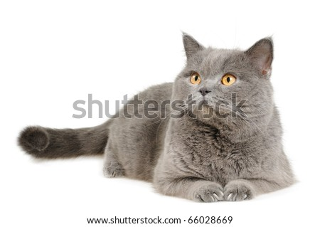 British cat lying and looking upleft, isolated on white.