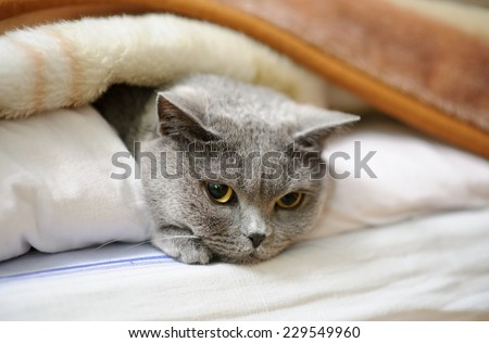 British cat lying in bed under blanket