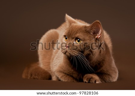 british cat on dark brown background - stock photo